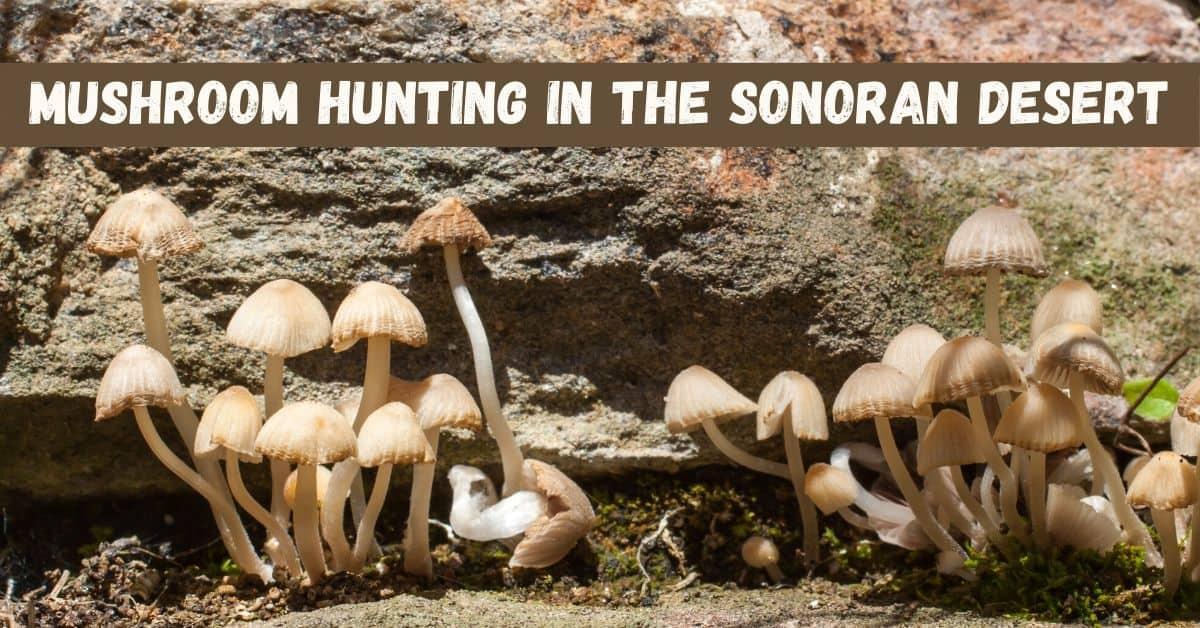 Mushroom Hunting in the Sonoran Desert